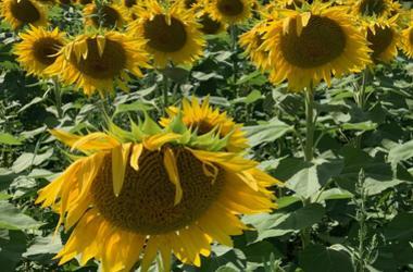 Stone Bank Sunflowers