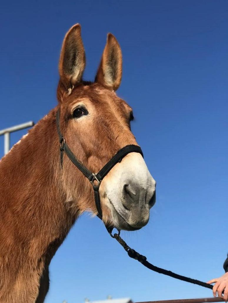 Tina the Army mule is up for adoption | Connecting Vets
