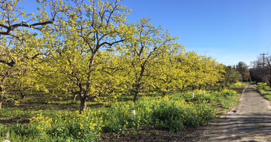 A Persimmon Orchard at Montague Expressway and Seely Avenue in San Jose