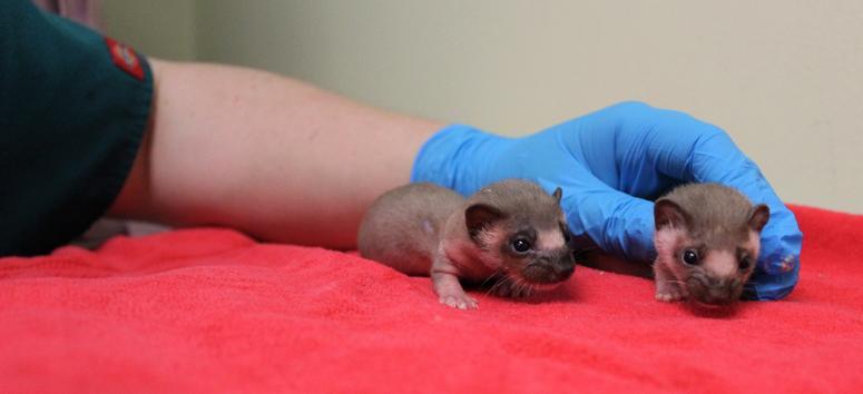 Baby Weasels