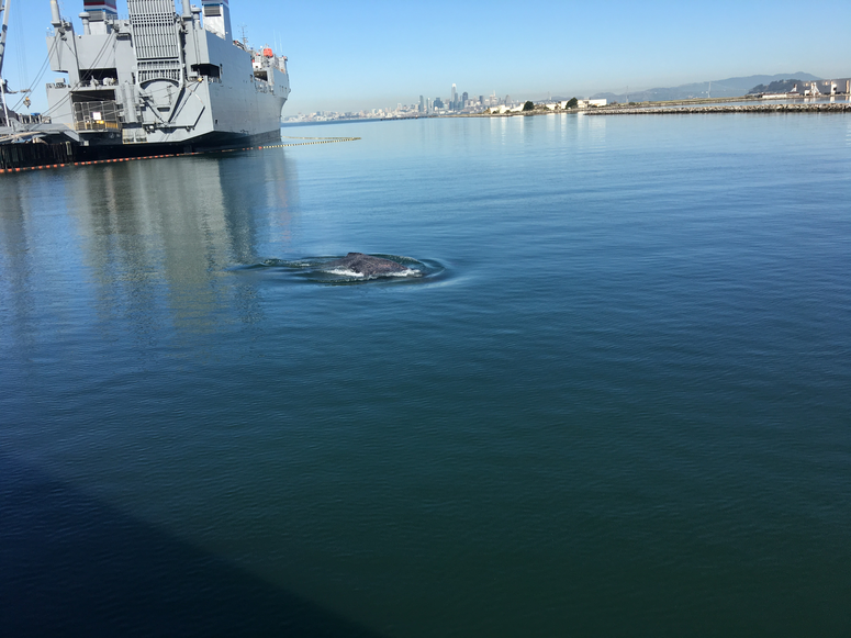 Humpback Whale Swims In Alameda Lagoon, June 11