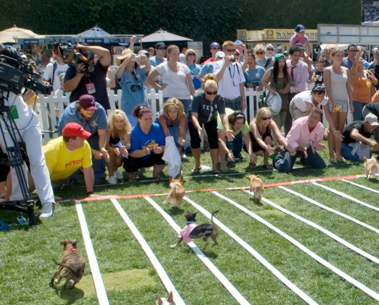 Chihuahua racing at the Concord Taco Fest