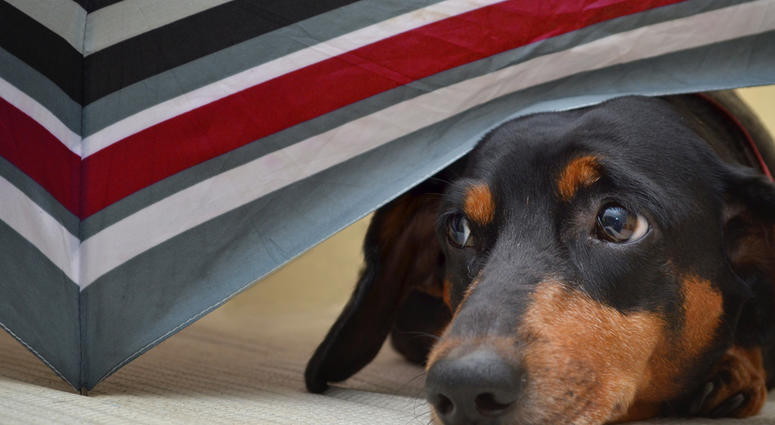 Close up of Dachshund Dog hiding under colorful umbrella.