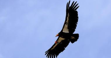 California Condors Make Significant Comeback