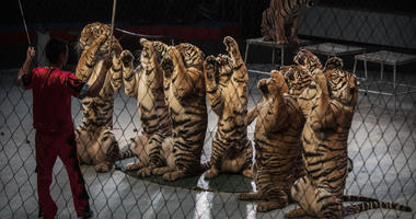 Chinese trainer swings a stick next to Siberian tigers as they perform at a private circus on rented space at the Heilongjiang Siberian Tiger Park on July 5, 2017 in Harbin, northern China.