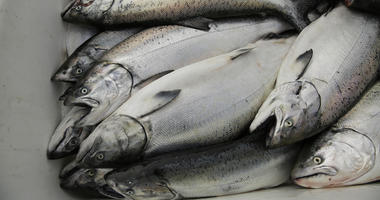 Salmon Fishing Is Biggest In Recent Years