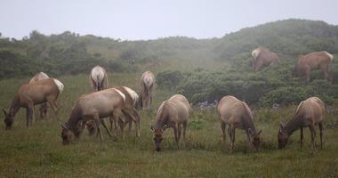 Tule Elk graze at Point Reyes National Seashore
