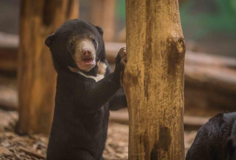 Precious sun bear cub Kyra is first of her kind to be born in the UK
