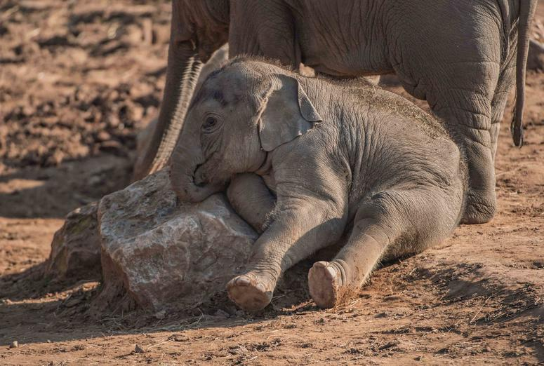 Elephant calf Anjan astonishes scientists after being born three months after expected due date