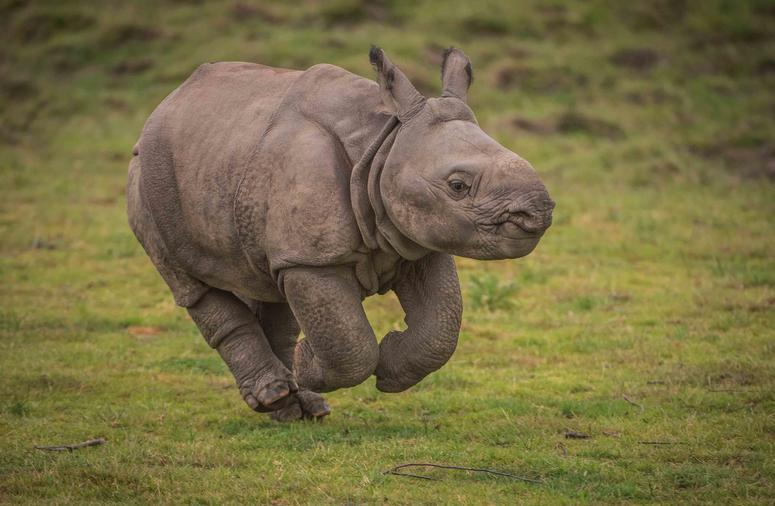 Greater one-horned rhin222o calf Akeno gives new hope to species
