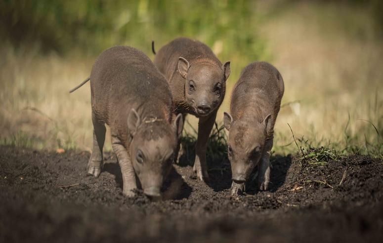 Tiny babirusa triplets arrive in zoo 'first'