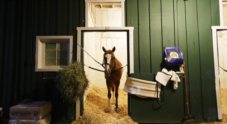 Improbable gets a morning snack as the field prepares for the running of the 144th Preakness horse race at Pimlico race track in Baltimore, Md., Saturday, May 18, 2019.