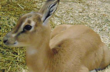 New-born calf at Saint Louis Zoo.