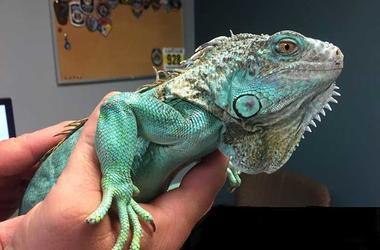 iguana used in restaurant attack