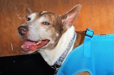 'Lincoln' (Photo credit: Muttville Senior Dog Rescue)