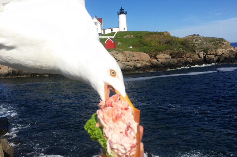 A seagull takes a bit of Jessop's lobster roll in York, Maine.