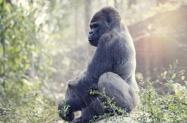 Silverback, Gorilla, Animal,
