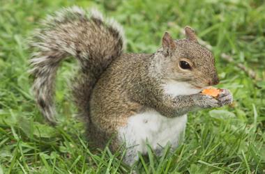 Cheetos_Squirrel