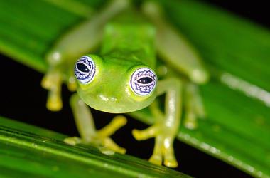 Frog, Tree, Staring, Huge Eyes, Ghost Glass Frog