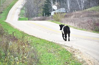 Young Cow, Running, Free, Street, Escape