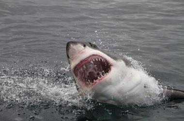Great White, Shark, Attack, Teeth, Ocean