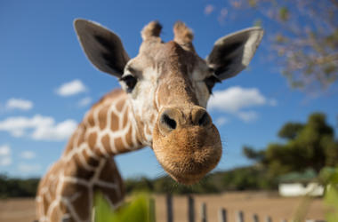 Giraffe, Fisheye, Nose, National Park, Kilimanjaro Mountain
