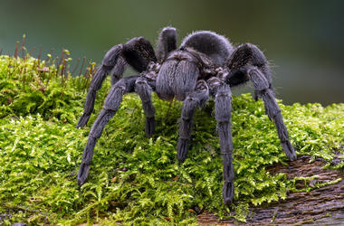 Brazilian Black Velvet Tarantula, Outdoors, Grass, Black, Giant, Spider, Mossy Log