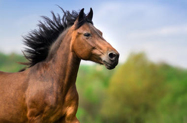 Horse, Bay Stallion, Running, Black Mane, Portrait