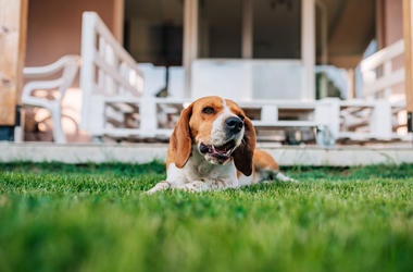 Dog on the lawn