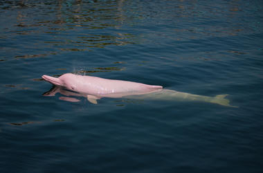 Pink_Dolphin