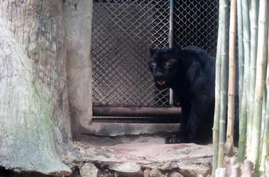 Young Jaguar, Zoo, Fence, Thailand