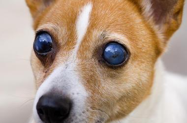 Blind, Dog, Eyes, Terrier, Close Up