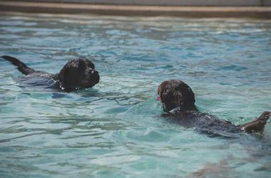 Dogs, Swimming, Pool, Black Labs