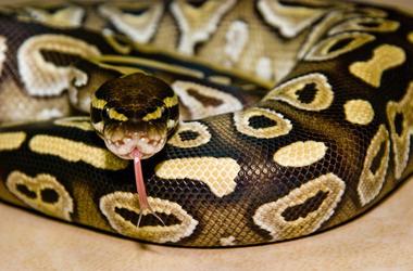 Python, Snake, Curled, Tongue