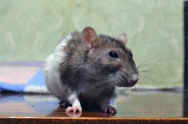 Rat, Mouse, Rodent, Cute