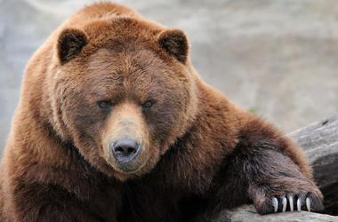 Brown Bear, Paw, Claw, Rock