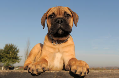 Dog, Puppy, Bull Mastiff