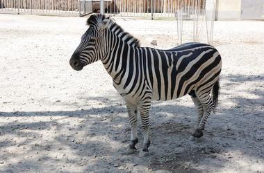 Zebra, Zoo