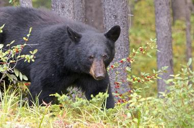 Black Bear, Woods