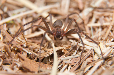 Brown Recluse, Spider, Wood Chips