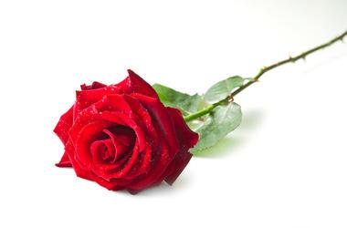 Rose, Single, Isolated, White Background