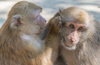 Monkeys, Picking Ear