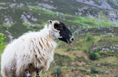 Sheep, Ireland, Mountain