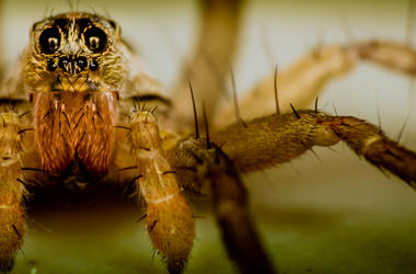 Spider, Close Up, Wolf Spider