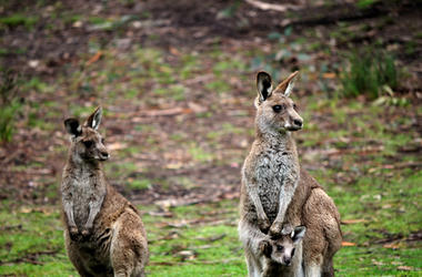 Wallabies with Their Joey