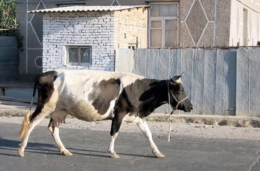 Cow in the street