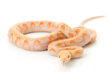 Albino Python