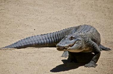 Alligator, Sand, Zoo