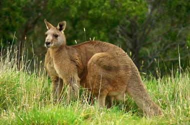 Brown Kangaroo, Wildlife Conservation, Australia