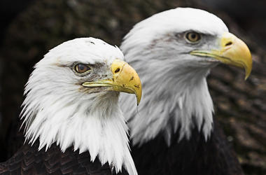 Bald Eagles, Birds, Majestic, Two
